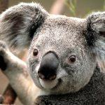 Koala - Tantalinha